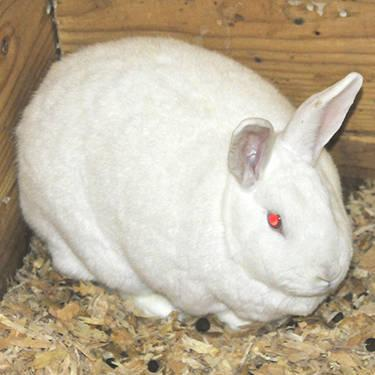 American - Bugs - Medium - Adult - Male - Rabbit