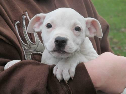 American Bulldog - Am. Bulldog Mix Puppies - Large -