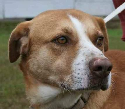 American Bulldog - Charlie - Large - Adult - Male - Dog