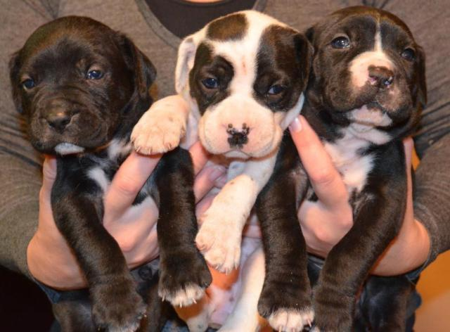 American Bulldog Cross Mastiff For Sale In Saint Louis Missouri Classified Americanlisted Com