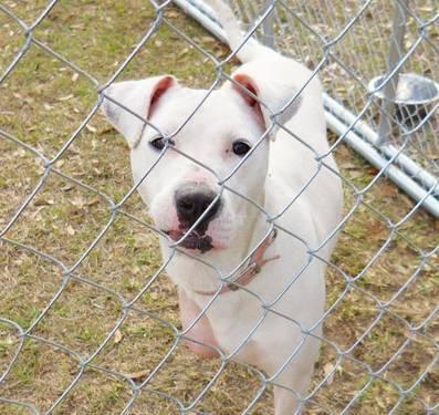 American Bulldog - Ellie - Large - Adult - Female - Dog