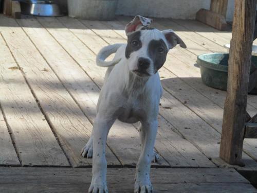 American Bulldog - Flower - Large - Baby - Female - Dog