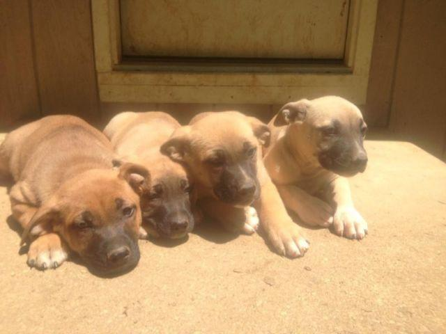 American Bulldog Amp German Shepherd Mixed Puppies For Sale