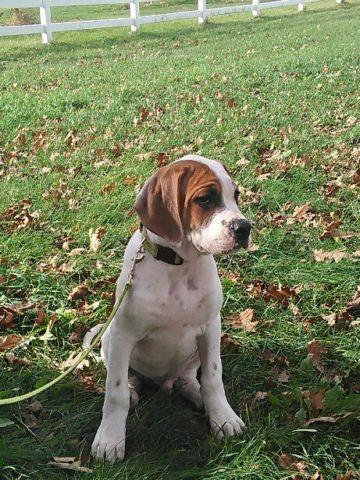 american bulldog hound mix american bulldog hound mix puppies for sale in medina new 7860
