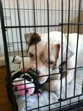 American Bulldog - Jax / Atlanta, Ga - Large - Adult -