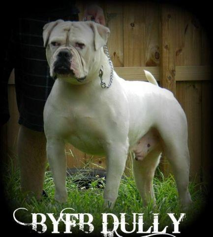 American Bulldog Johnson for Sale in Miami, Florida