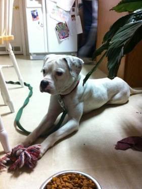 American Bulldog - Jolie / Lafayette. La - Large -