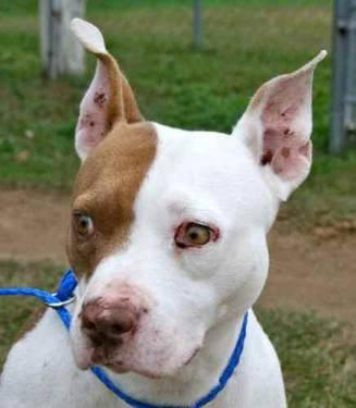 American Bulldog - Lucy - Medium - Adult - Female - Dog