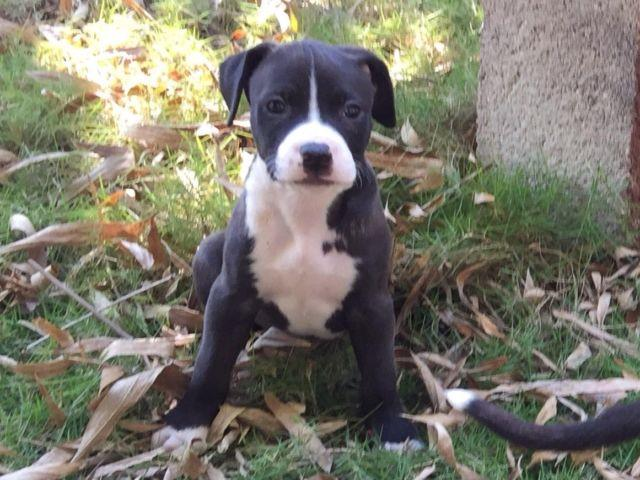 American Bulldog Mix Puppies for Sale in Miami, Florida