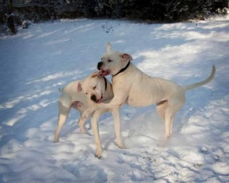 American Bulldog - Polka & Dottie / Spalding County, Ga
