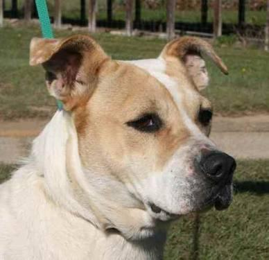 American Bulldog - Poppy - Medium - Adult - Female -