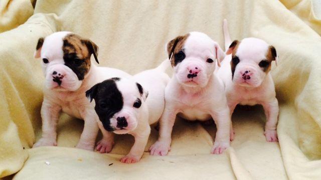 American Bulldog Puppies for Sale in Hemet, California Classified ...
