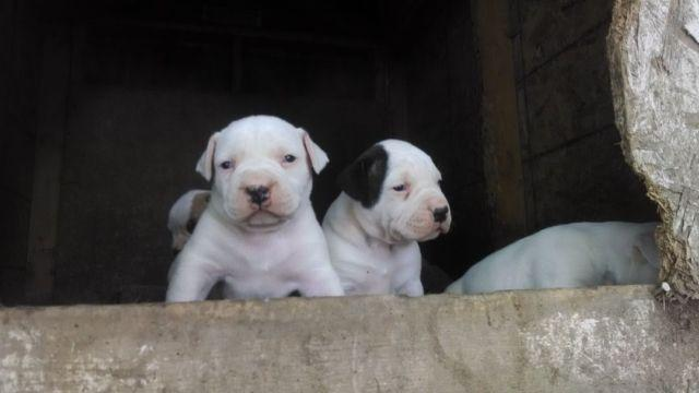 American Bulldog puppies big block heads