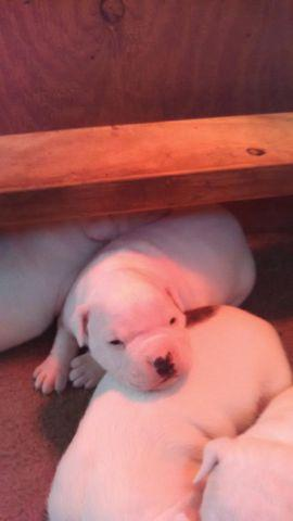 american bulldog puppies for sale in Alabama Classifieds