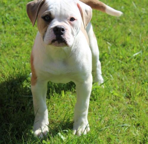American Bulldog Puppy For Sale Adoption Rescue For Sale