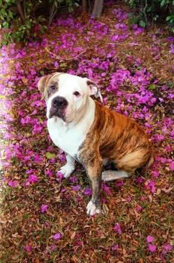 American Bulldog - Sam / Miami, Fl - Large - Adult -