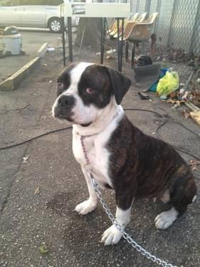 American Bulldog - Xenna / Davie, Fl - Large - Adult -