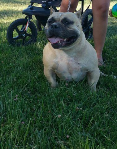 American bully Adult Female for Sale in Manteca, California