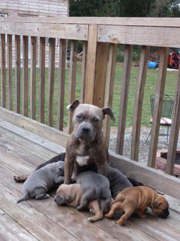 American Bully for Sale in New Hill, North Carolina Classified