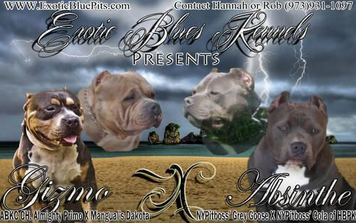 American Bully Champion Bred Puppies