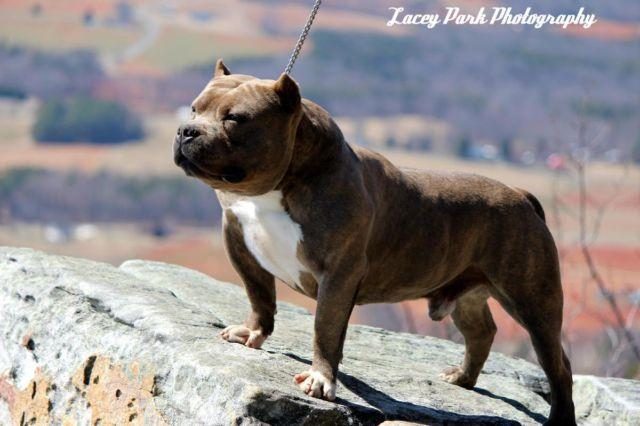 AMERICAN BULLY CHAMPION SIRED PUPS !!!! THE BEST OF THE BEST !!!!