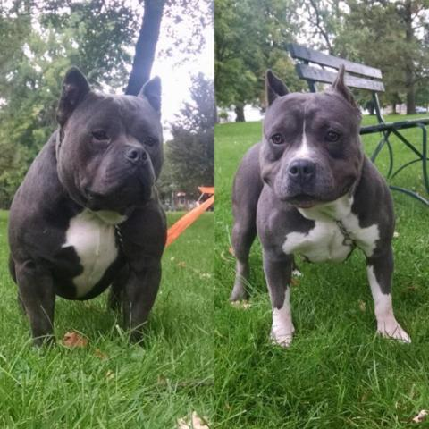 Images of Razor Edge American Bully - #rock-cafe