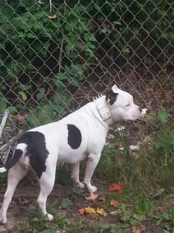 AMERICAN BULLY FEMALE JUST OVER A YEAR GOTTI