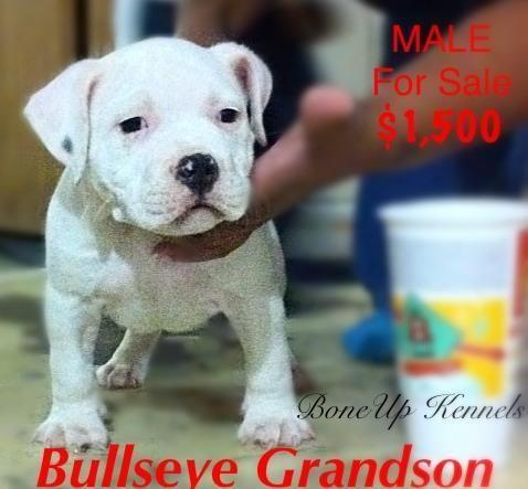 American Bully/Pitbull puppy