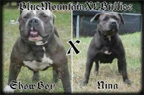American bully pocket pitbull pups
