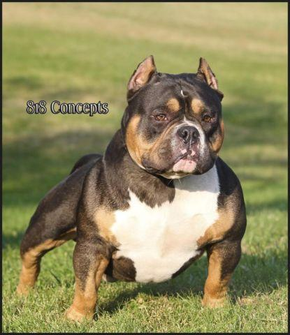 American Bully Pocket Tri Color Pups Ukc Ears Clipped For