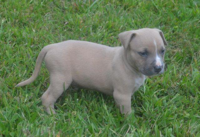 American Bully Puppies !!!