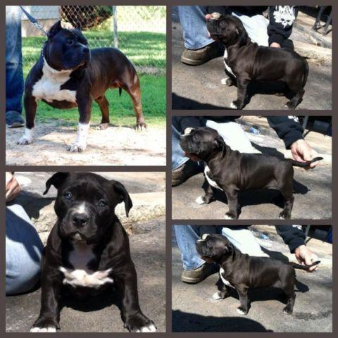 AMERICAN BULLY, Puppy's