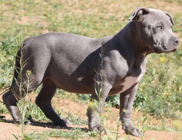 American bully XL pup for Sale in Perris, California ...