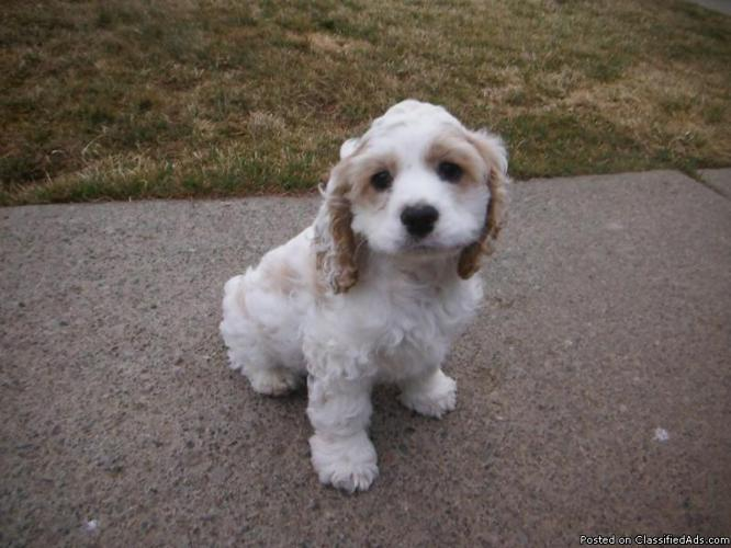 American cocker spaniel puppies - photo#15