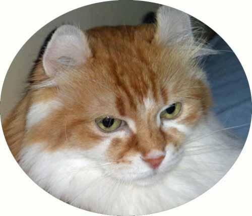 American Curl Cat Adoption