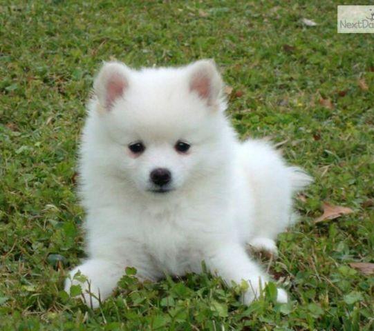 American Eskimo Dog Puppies For Sale In Florida