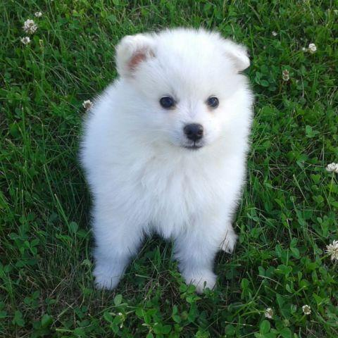 American Eskimo Puppies For Sale In Wisconsin Classifieds Buy And