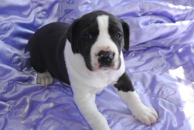 American Great Dane Mantle Puppy from Dancing with Danes ...