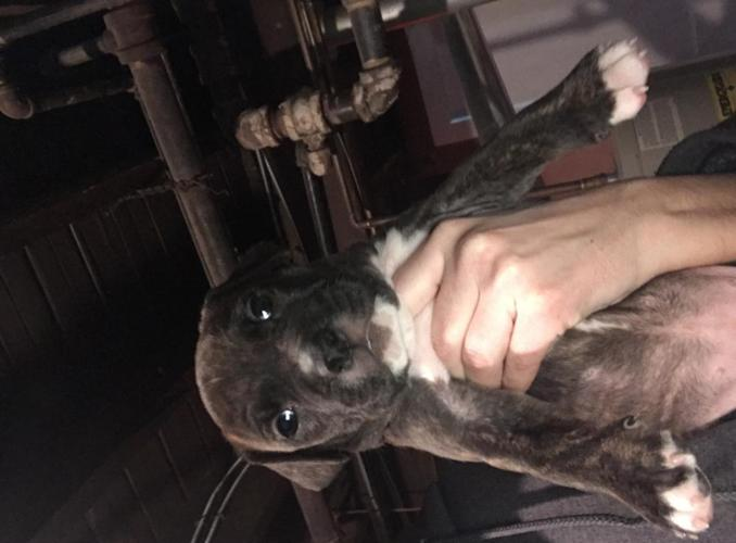 American Pitbul puppies for sale