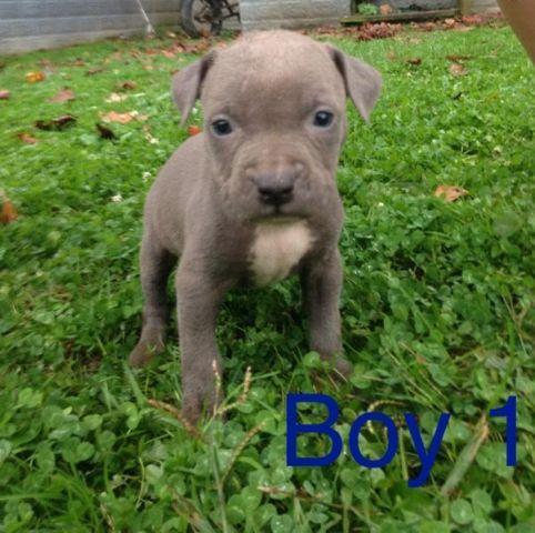 Pets And Animals For Sale In Gilbert West Virginia Puppy And