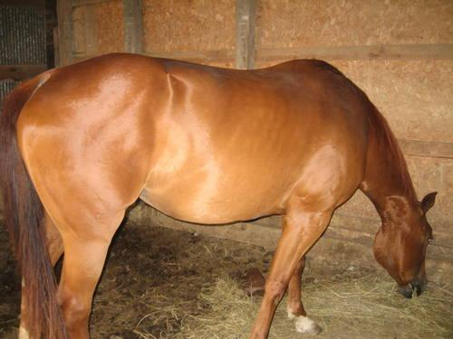 American Quarter Horse **mare** 12 years old