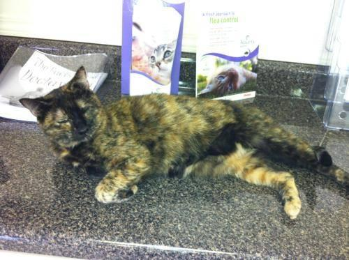 American Shorthair - Mamacita - Medium - Adult - Female