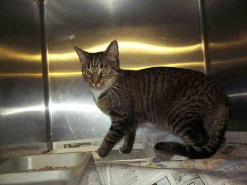 American Shorthair - Mewha - Medium - Adult - Female -