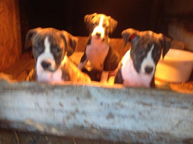 American. Staffordshire pups