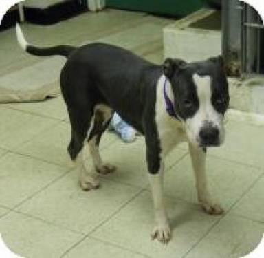 American Staffordshire Terrier - Bindi - Medium - Young