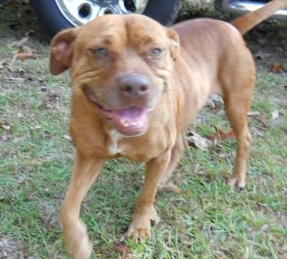 American Staffordshire Terrier - Ladybug
