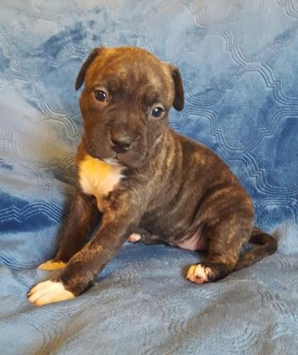 American Staffordshire Terrier Puppies For Adoption