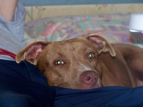 American Staffordshire Terrier - Sophie - Medium -