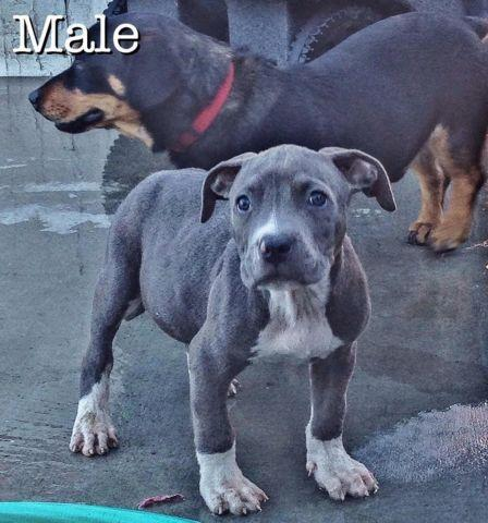 Pitbull Pets And Animals For Sale In Sunnyside Washington Puppy