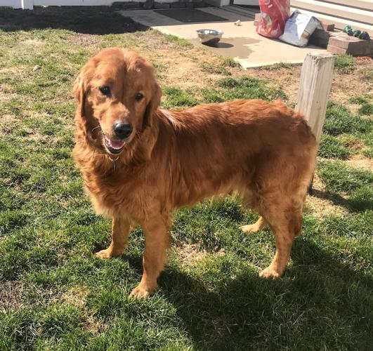 Anastacia Golden Retriever Adult Adoption Rescue For Sale In Waterville Ohio Classified